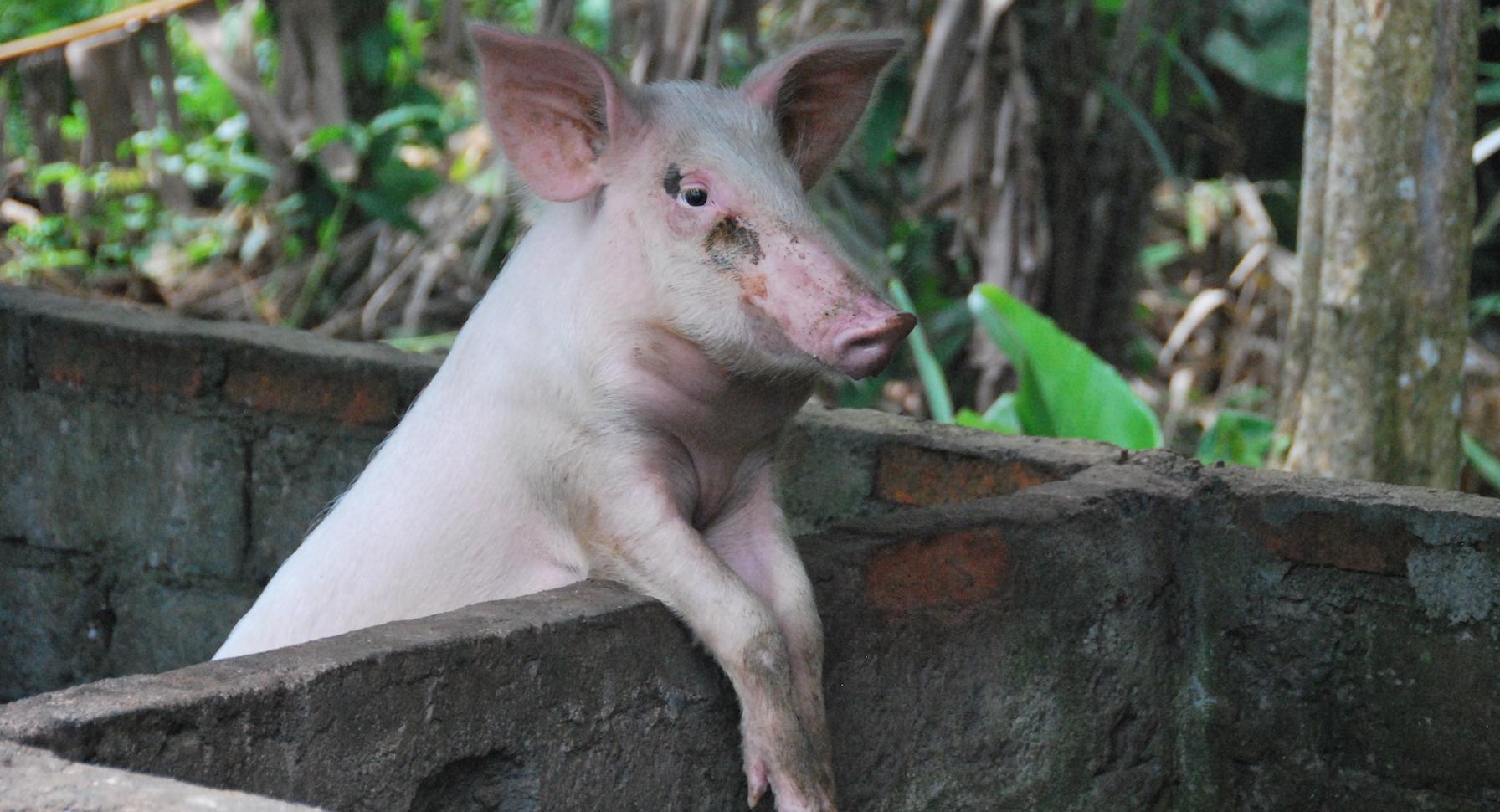 Ababi varkens 11 In het hok